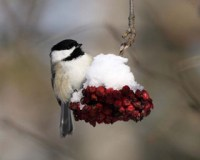 Black-capped Chickadee 1