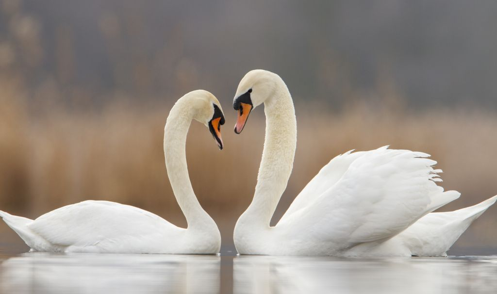 Two swans in love and nice blurred background