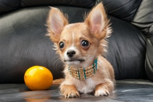 Chihuahua puppy with native Indian necklace and lemon