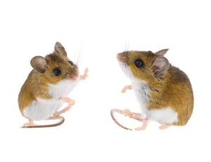 High-five sitting wild deer mice isolated on white.