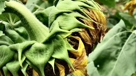 Wilting Sunflower Susan K. Friedland, Member