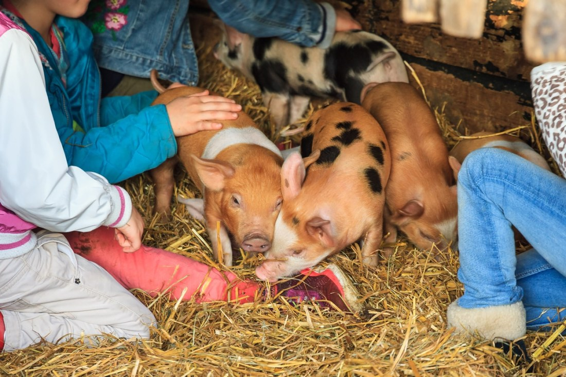 a group of young children sit around three baby piglets atop hay