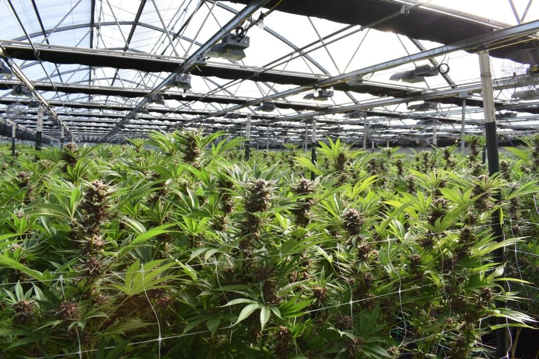 high-resolution photo of an indoor marijuana farm