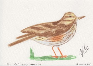 735 RED WING THRUSH