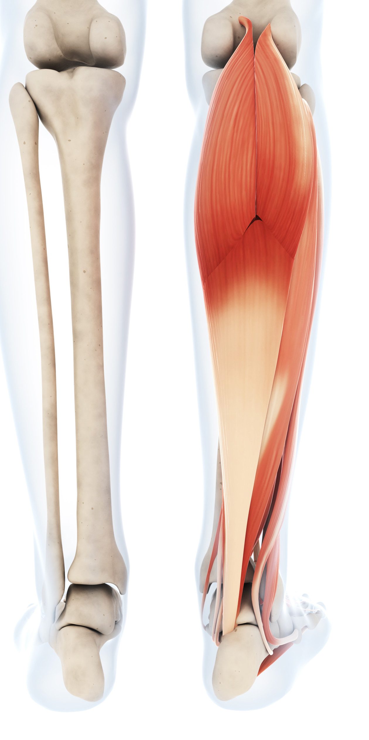 Gastrocnemius Notice The Bone View On The Left And How