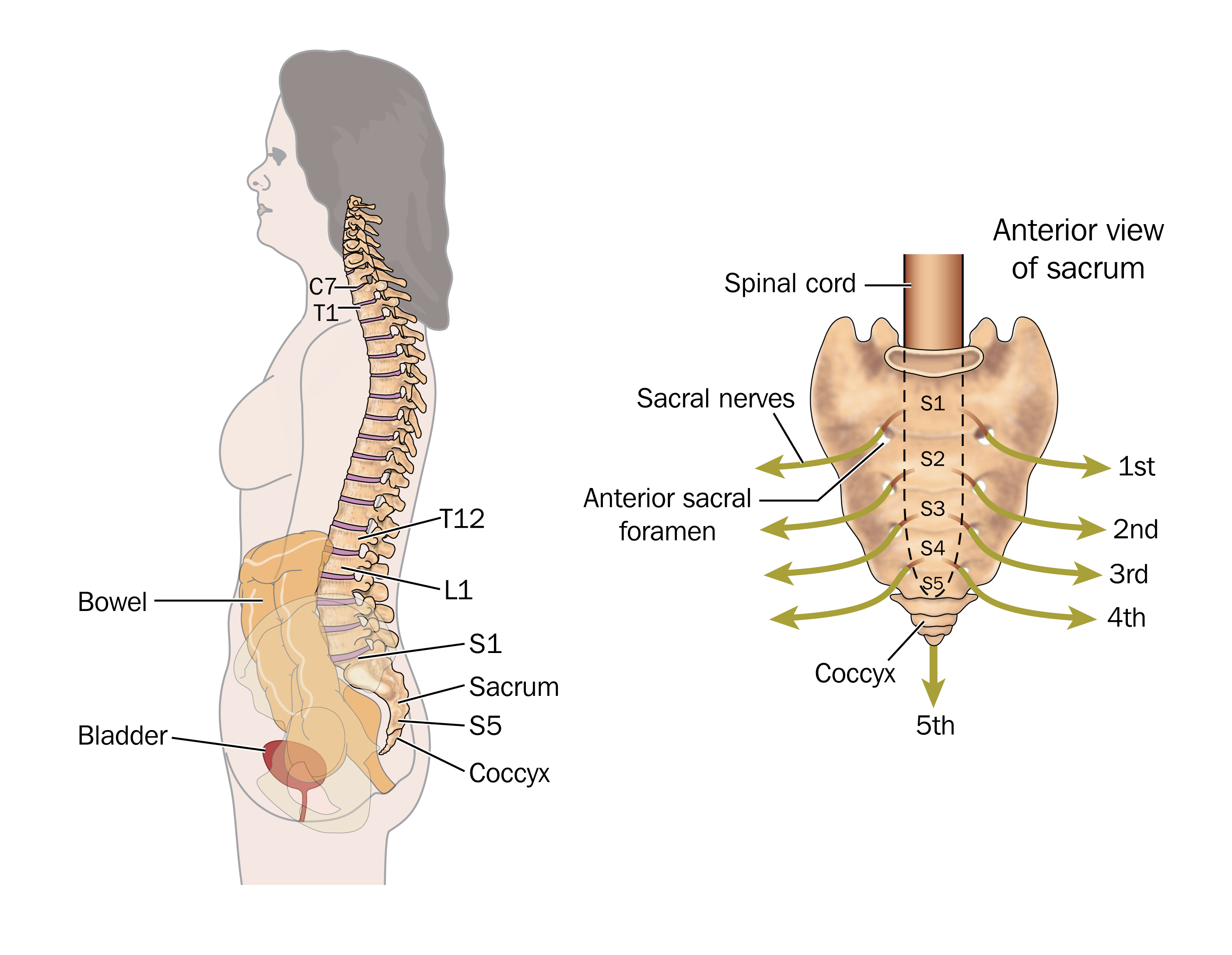 Side View Of The Bowel Spinal Column And Sacral Nerves To Show The Nerves Involved In Bowel
