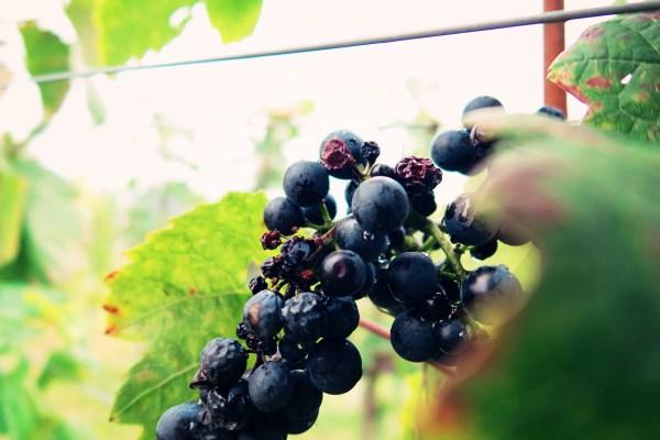 slovenian-vineyard