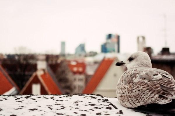 seagull-tallinn