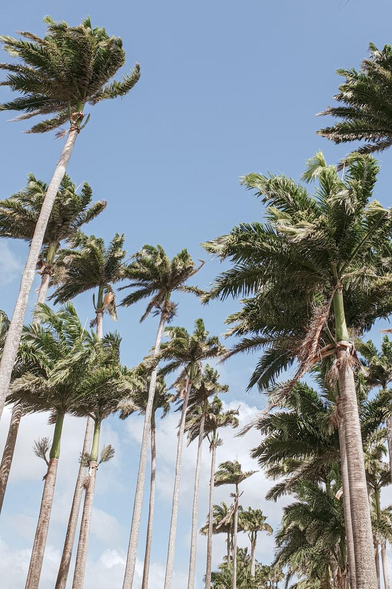 Guadeloupe : mes incontournables pour visiter l'île papillon - allée Dumanoir et ses palmiers
