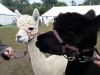 alpacas (4)