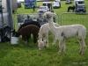 wensleydaleshow2011-1