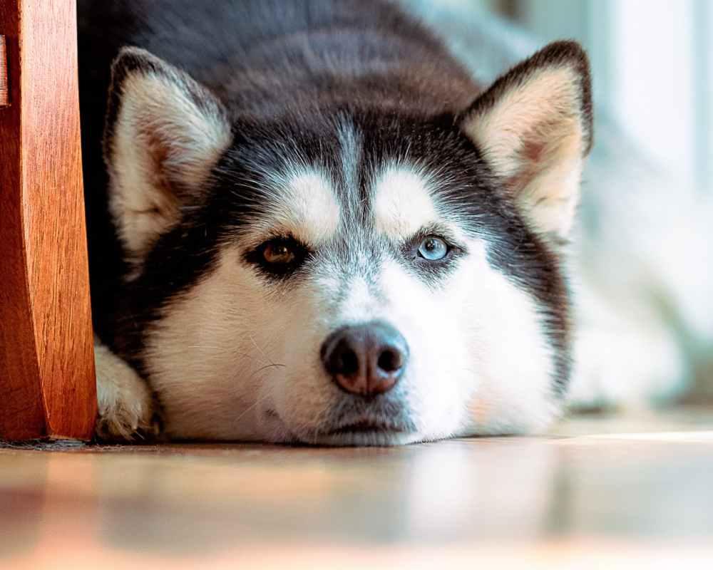 สุนัขซึมเศร้า
