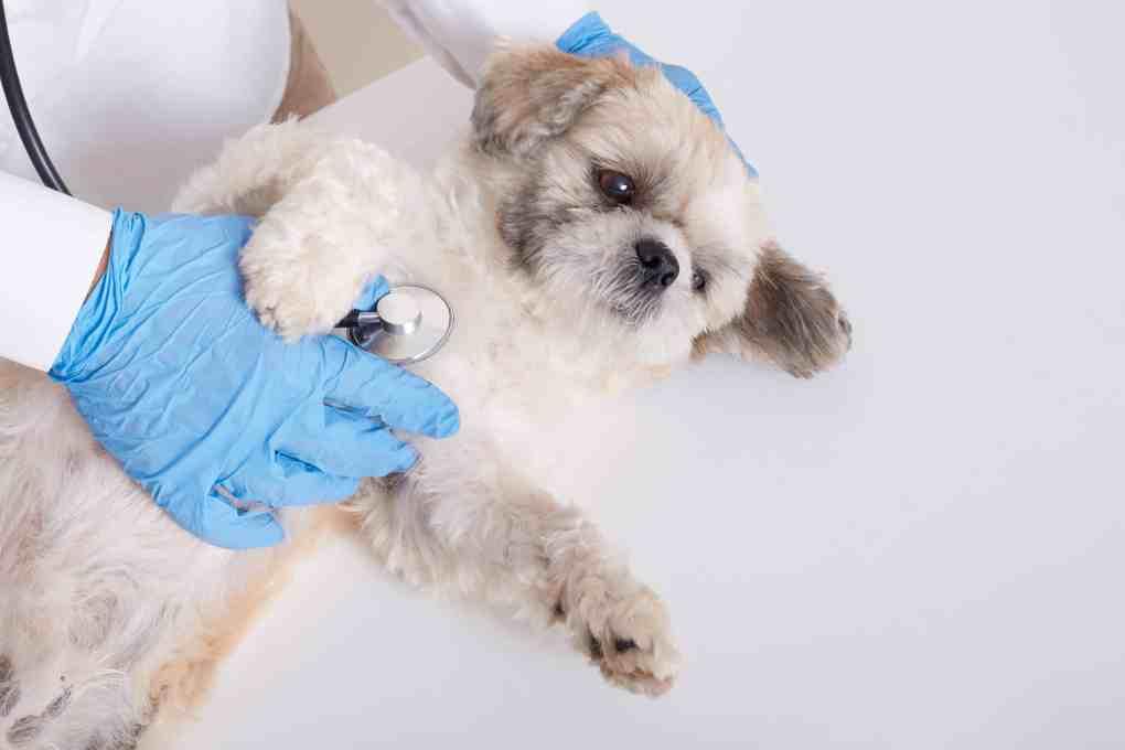 หมาชิสุนอนป่วยบนเตียงแพทย์สีขาว