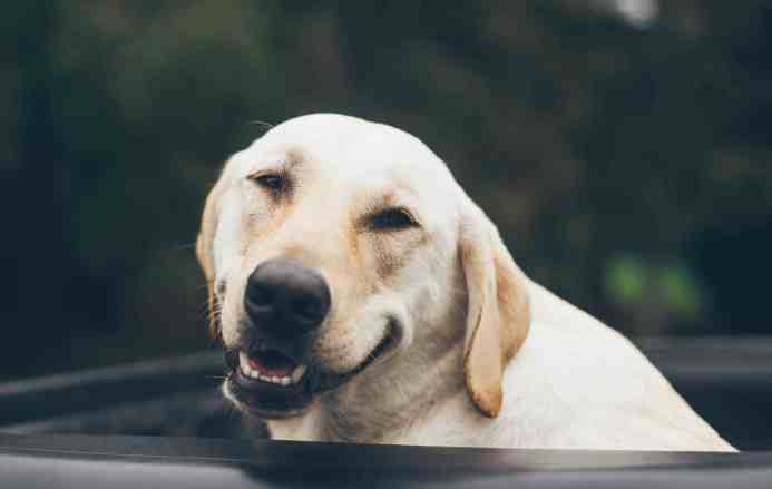 หมาสีน้ำตาล ยิ้ม อารมณ์ดี