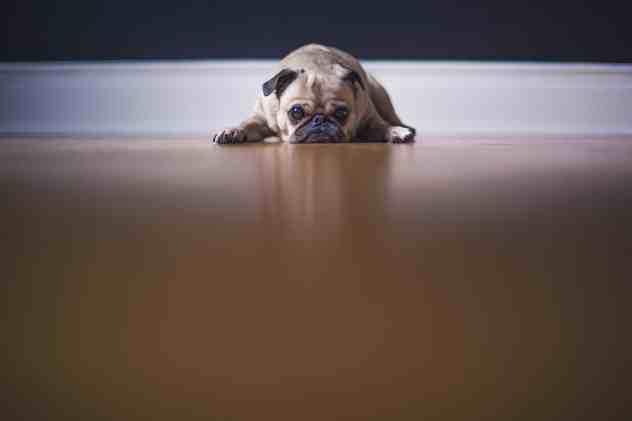 สุนัขสีน้ำตาลหน้าเศร้านอนบนพื้น เซื่องซึม ไม่อยากอาหาร