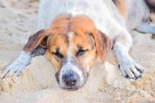 สุนัขสีน้ำตาลขาว นอนทำหน้าเศร้าอยู่บนหาดทราย