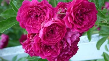 Magenta roses.