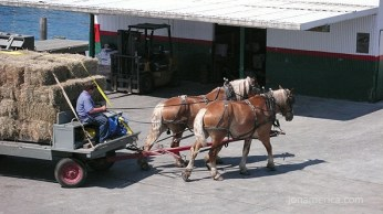 Everything on the island is done by horse and buggy. Here are horses pulling hay off the dock.