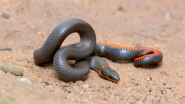 Prairie Ring-necked Snake (Diadophis punctatus arnyi), Harding County, New Mexico. Photo by Andrew DuBois. CC Licence.