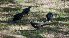 Red-winged Blackbirds (Agelaius phoeniceus)