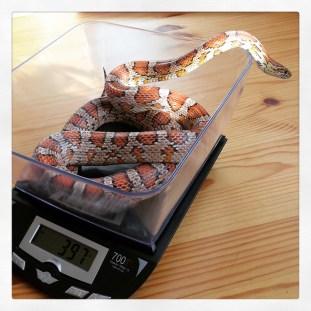 Pretzel being weighed, April 2015.