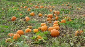 Help yourself to a pumpkin. It's fall!
