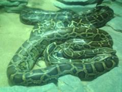 Two Burmese pythons at the Zoologischer Garten Berlin aquarium. Snake d'awww. :)