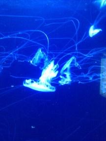 Moon jellyfish at the Zoologischer Garten Berlin aquarium.