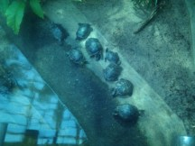 Another turtle pileup at Zoologischer Garten Berlin aquarium. :)