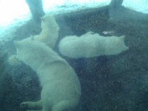 White wolves at Zoologischer Garten Berlin. Even they wanted away from the snow. :)