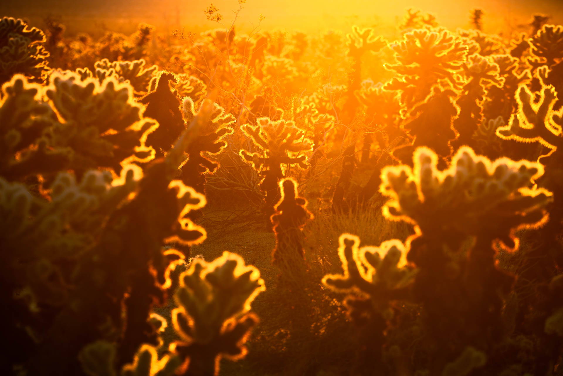 Cholla Cactus Garden Sunrise