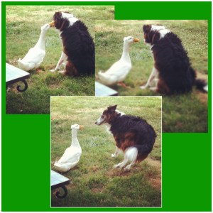 Duck secrets, just for the dog's ear