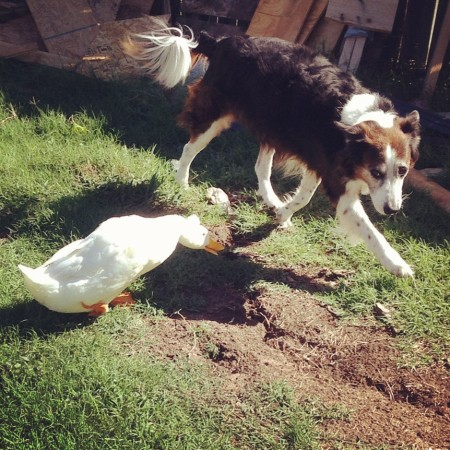 A dog running from a duck?