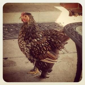 Gratuitous chicken shot