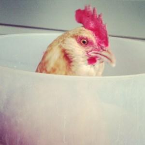 Chicken in a Bucket