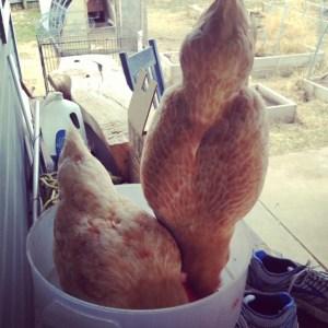 Naughty Chickens!