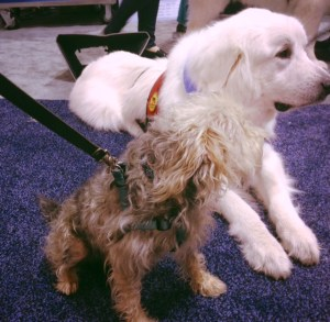 Dogs - Great Pyernees and Terrier  mix