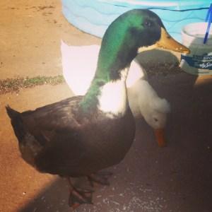 Sweet duck