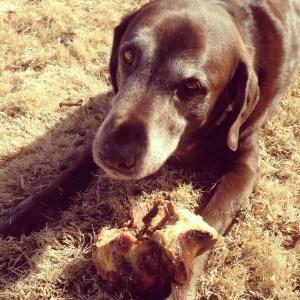 Jumbo Bone for a Chocolate Labrador Retriever