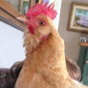 Mary Ann, chicken
