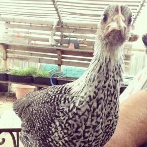 Grouchy chicken