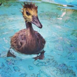 Swimming gosling