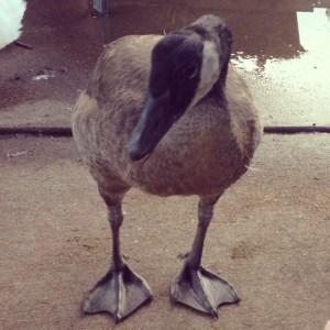 Ten week old Canada goose
