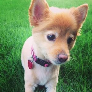 Pomeranian cutie patootie