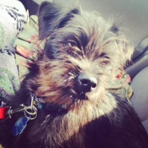 Affenpinscher puppy face
