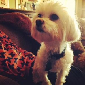 Puppy cut Maltese