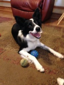 A Border Collie with balls