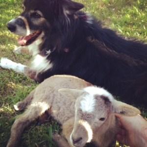 a dog and a lamb