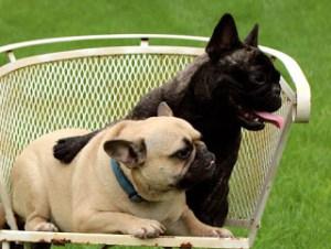 French Bulldog parents
