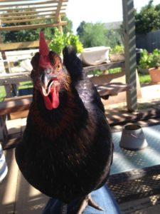 Lap chicken